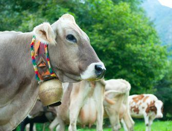 Tusk to Tail: That ringing in your ears will be from several thousand cowbells